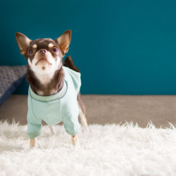 miętowa bluza dla chihuahua