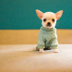 bluza dla chihuahua szczeniaka