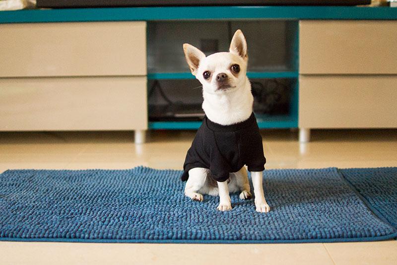 chihuahua bluza czarna basic