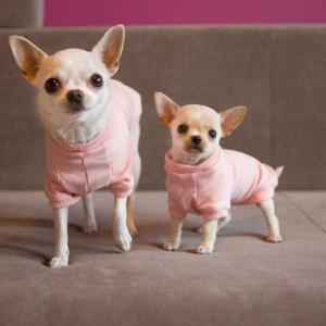 różowa bluza dla chihuahua