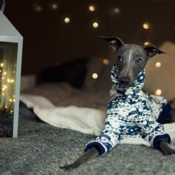 świąteczna bluza zimowa charcik włoski